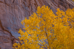 Fremont Cottonwood, Populus fremontii, with golden autumn color, along Barrier Creek and along the trail to the pictographs of Horseshoe Canyon in Canyonlands National Park, Utah, USA
