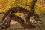 Fremont Cottonwood, Populus fremontii, sculptural trunks with golden autumn color, along Barrier Creek and along the trail to the pictographs of Horseshoe Canyon in Canyonlands National Park, Utah, USA