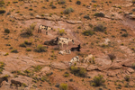 Herd of wild Burros, Equine asinus, originally from Africa, in Horseshoe Canyon within Canyonlands National Park, Utah, USA