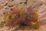 Skunkbush Sumac, Rhus trilobata, in scarlet autumn color near the rim overlooking Horseshoe Canyon in Canyonlands National Park, Utah, USA