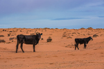 Cattle graze on the sand dunes on BLM land on the road to the Horseshoe Canyon Unit of Canyonlands National Park, Utah, USA