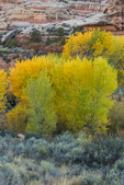 Fremont's Cottonwood, Populus fremontii, turning gold in autumn, with the cooler tones of sagebrush and rabbitbrush, Salt Creek Canyon in The Needles District of Canyonlands National Park, Utah, USA