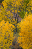Fremont's Cottonwood, Populus fremontii, turning gold in autumn, in Salt Creek Canyon in The Needles District of Canyonlands National Park, Utah, USA
