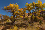 Fremont's Cottonwood, Populus fremontii, gold in autumn, in Salt Creek Canyon in The Needles District of Canyonlands National Park, Utah, USA