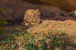 Squash plant that has persisted through reseeding for some 800 years, with a masonry granary once used by Ancestral Puebloan people within Salt Creek Canyon in The Needles District of Canyonlands National Park, Utah, USA