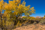Fremont Cottonwood, Populus fremontii, gold in autumn, in Salt Creek Canyon in The Needles District of Canyonlands National Park, Utah, USA