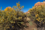 Rubber Rabbitbrush, Ericameria nauseosa, growing tall along the trail within Salt Creek Canyon in The Needles District of Canyonlands National Park, Utah, USA