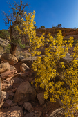 Yellow autumn leaves of Singleleaf Ash, Fraxinus anomala, within Upper Salt Creek Canyon in The Needles District of Canyonlands National Park, Utah, USA