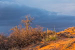 Gambel Oak, Quercus gambellii, trees on dunes in evening storm light in Coral Pink Sand Dunes State Park, Utah, USA
