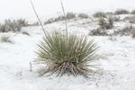 Kanab Yucca, Yucca angustissima var. kanabensis, in snow in Coral Pink Sand Dunes State Park, Utah, USA