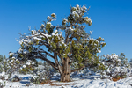 Utah Juniper, Juniperus utahensis, after a spring snowstorm in Ponderosa Grove Campground on Bureau of Land Management land near Coral Pink Sand Dunes State Park, Utah, USA