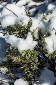 Snow on Big Sagebrush, Artemisia tridentata, in Coral Pink Sand Dunes State Park, Utah, USA