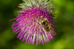 Bee visiting Edible Thistle, Cirsium edule, blooming in September in Grand Valley in Olympic National Park, Washington State, USA