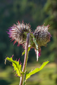 Edible Thistle, Cirsium edule, blooming in September in Grand Valley in Olympic National Park, Washington State, USA