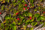 Alpine Wintergreen, Gaultheria humifusa, with its red fruits, possibly combined with Western Teaberry, aka Slender Wintergreen, Gaultheria ovatifolia, observed in Grand Valley in Olympic National Park, Washington State, USA