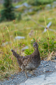 Sooty Grouse, Dendragapus fuliginosus, female, part of a covey of mother and nearly grown young, observed during a backpacking trip into Grand Valley in Olympic National Park, Washington State, USA