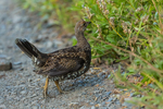 Sooty Grouse, Dendragapus fuliginosus, juvenile, part of a covey of mother and nearly grown young, observed during a backpacking trip into Grand Valley in Olympic National Park, Washington State, USA