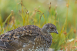 Sooty Grouse, Dendragapus fuliginosus, female and mother of a covey of nearly grown young, observed during a backpacking trip into Grand Valley in Olympic National Park, Washington State, USA