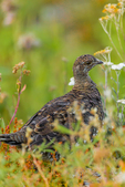 Sooty Grouse, Dendragapus fuliginosus, part of a covey of mother and nearly grown young, observed during a backpacking trip into Grand Valley in Olympic National Park, Washington State, USA