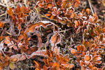 Early morning frost on Cascade Blueberry, Vaccinium deliciosum, autumn leaves in a subalpine meadow, during a backpacking trip into Grand Valley in Olympic National Park, Washington State, USA