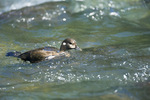 Harlequin Duck (Histrionicus histrionicus) female in the fast-moving waters of the Dosewallips River, Olympic National Forest, Olympic Mountains, Olympic Peninsula, Washington, USA, June, 2009_WA_2125
