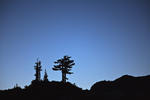 Mountain Hemlocks (Tsuga mertensiana) against a twilight sky, Mt. Baker Wilderness, Mt. Baker - Snoqualmie National Forest, North Cascade Range, Washington, USA, September