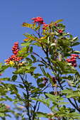 Sitka Mountain-ash (Sorbus sitchensis) along the trail to Yellow Aster Butte, Mt. Baker Wilderness, Mt. Baker - Snoqualmie National Forest, North Cascade Range, Washington, USA, September