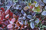 Autumn morning frost on Cascades Blueberry (Vaccinium deliciosum) leaves; in a subalpine meadow in Noisy-Diobsud Wilderness near the Watson Lakes, Mt. Baker - Snoqualmie National Forest, North Cascade Mountains, Washington, USA, September, Noisy_Diobsud-147