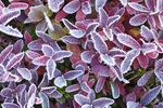 Autumn morning frost on Cascades Blueberry (Vaccinium deliciosum) leaves; in a subalpine meadow in Noisy-Diobsud Wilderness near the Watson Lakes, Mt. Baker - Snoqualmie National Forest, North Cascade Mountains, Washington, USA, September, Noisy_Diobsud-153