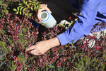 Picking Cascades Blueberries (Vaccinium deliciosum) in a subalpine meadow in the Noisy-Diobsud Wilderness near the Watson Lakes, Mt. Baker - Snoqualmie National Forest, North Cascade Mountains, Washington, USA, September, Noisy_Diobsud-172