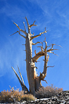 Dead skeleton of a Great Basin Bristlecone Pine (Pinus longaeva) along the Bristlecone Pine National Scenic Byway in the Ancient Bristlecone Pine Forest,  Inyo National Forest, White Mountains, California, Bristlecone_Pine_Forest-131