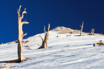 These dead Great Basin Bristlecone Pines (Pinus longaeva) probably died centuries ago on this snowy slope of a dolomite hill, located along the Bristlecone Pine National Scenic Byway in the Ancient Bristlecone Pine Forest,  Inyo National Forest, White Mountains, California, Bristlecone_Pine_Forest-239
