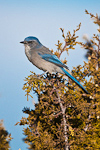 Western Scrub-Jay (Aphelocoma californica) (Interior population, adult) perched atop a Utah Juniper (Juniperus osteosperma) in the Pinyon-Juniper plant community in the lower reaches of the area designated by the U.S. Forest Serice as the Ancient Bristlecone Pine Forest, Inyo National Forest, White Mountains, California, USA, October, Western_Scrub-Jay-26