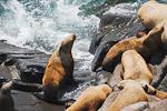Steller Sea Lion (Eumetopias jubatus) females and juveniles at a haulout on the rocky beach at Round Island, Walrus Islands State Game Sanctuary, Bristol Bay, Alaska, USA, July, AK_Round_Island-267