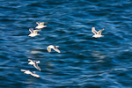 Black-legged Kittiwakes (Rissa tridactyla) flying over Bristol Bay on return to nests on Round Island, Walrus Islands State Game Sanctuary, Bristol Bay, Alaska, USA, July, AK_Round_Island-431