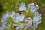 Dog Lichen (Peltegera canina) (aka Dog Pelt Lichen) growing on mossy forest floor in Douglas Fir and Western Red Cedar lowland forest, Whidbey Island, Deception Pass State Park, Puget Sound, Washington, USA, June, 2009_WA_2331