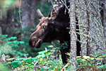 Moose (Alces alces) in boreal forest of Isle Royale National Park, Lake Superior, Michigan, USA, 33,207