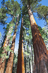 Giant Sequoias (Sequoiadendron giganteum) (aka Sierra Redwood) in the Mariposa Grove of Yosemite National Park, California, USA, Mariposa_Grove-15