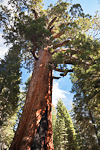 Looking up at the Grizzly Giant, a monumental Giant Sequoia (Sequoiadendron giganteum) (aka Sierra Redwood) in the Mariposa Grove of Yosemite National Park, California, USA, Mariposa_Grove-34