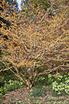 Orange Beauty Witch Hazel (Hamamelis x intermedia 'Orange Beauty'), flowering in the J. A. Witt Winter Garden in the Washington Park Arboretum, University of Washington, Seattle, Washington, USA, February, Seattle_Arboretum-6164