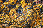 Orange Beauty Witch Hazel (Hamamelis x intermedia 'Orange Beauty'), flowering in the J. A. Witt Winter Garden in the Washington Park Arboretum, University of Washington, Seattle, Washington, USA, February, Seattle_Arboretum-6211