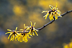Chinese Witch Hazel (Hamamelis mollis), flowering near the J. A. Witt Winter Garden in the Washington Park Arboretum, University of Washington, Seattle, Washington, USA, February, Seattle_Arboretum-6271
