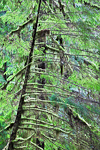 Adolescent Western Hemlock (Tsuga heterophylla) branch in the Sol Duc River Valley in Olympic National Park, Washington, USA, February, Olympic_National_Park_Sol_Duc-6387