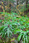 Moss-covered Vine Maple (Acer circinatum) and Sword Ferns (Polystichum munitum) on the forest floor of the Sol Duc forest in Olympic National Park, Washington, USA, February, Olympic_National_Park_Sol_Duc-6463