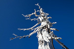Dead Whitebark Pine (Pinus albicaulis), part of a widespread dieoff, above Paradise in Mount Rainier National Park, Washington, USA, February, Mt._Rainier_Paradise_Winter-27