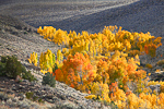 Trembling Aspens (aka Quaking Aspens) (Populus tremuloides) in autumn color thriving in a moister microclimate of the Bodie Hills along US Route 395 near Conway Summit, California, USA, October, Humboldt-Toiyable_NF-91