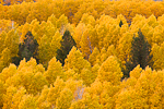 Trembling Aspens (aka Quaking Aspens) (Populus tremuloides) in autumn color thriving in a moister microclimate of the Bodie Hills along US Route 395 near Conway Summit, California, USA, October, Humboldt-Toiyable_NF-97