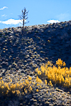 Trembling Aspens in brilliant autumn color on a hill above the West Fork Walker River in the Humboldt-Toiyabe National Forest, California, USA, Humboldt_Toiyabe_NF-3