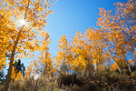 Trembling Aspens (Populus tremuloides) colored yellow with autumn near Lower Twin Lakes Campground, Humboldt-Toiyabe National Forest, California, USA, October, Humboldt-Toiyable_NF-59