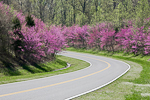 Redbud (Cercis canadensis) flowering at the edge of the forest along the Natchez Trace Parkway in Tennessee, USA, April, 2008_TN_3138